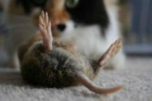 Биологический метод уничтожения крыс