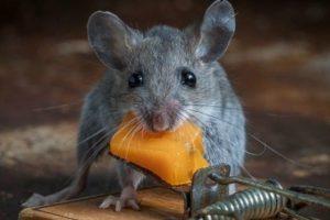 истребление крыс в Коломне