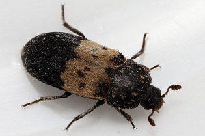 Уничтожение жуков в Коломне