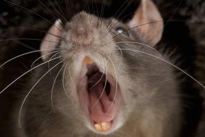 опасная крыса для человека