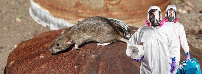 химическое уничтожение крыс