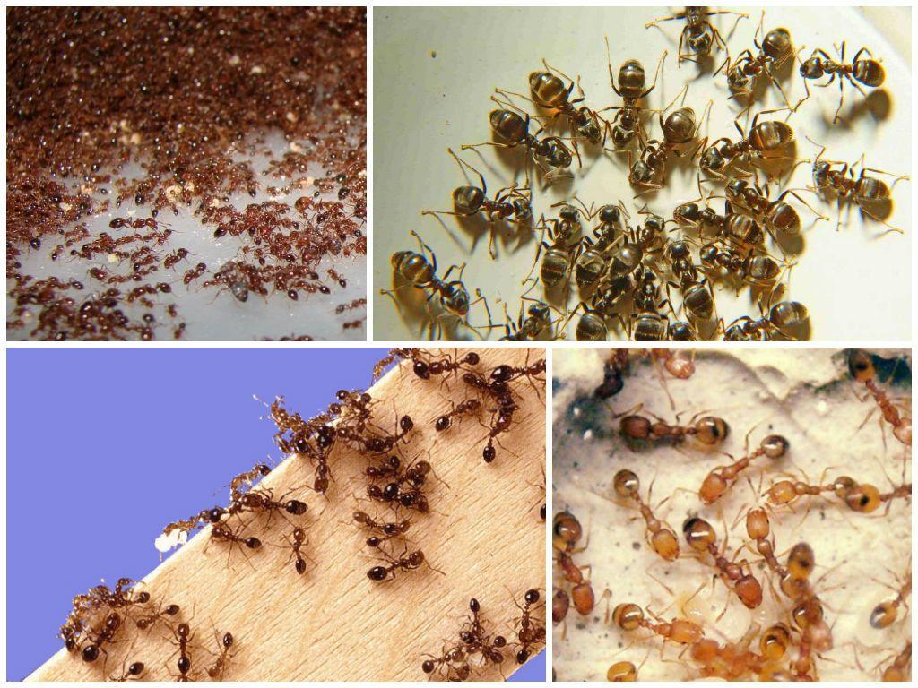 уничтожение муравьев в Коломне
