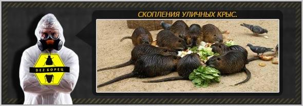 скопления крыс